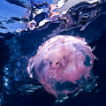 Underwater blue background with pink jellyfish Stock Images