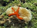 Underwater comet sea star on a sun anemone in shallow water Royalty Free Stock Image