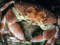 Underwater coral reef orange batwing crab at night on Stock Photography
