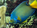 Underwater coral reef queen angelfish holacanthus ciliaris is an angelfish commonly found near reefs in the warmer sections of the Royalty Free Stock Image