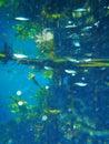 Underwater garden, Bitter Springs, Northern Territory, Australia Royalty Free Stock Photo
