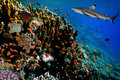 Underwater image of coral reef with shark Royalty Free Stock Photo
