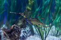 Underwater image of sea dragon Royalty Free Stock Photo