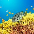 Underwater landscape tropical fish sweetlips Royalty Free Stock Photography