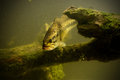 Underwater largemouth bass fish large mouth in freshwater lake Stock Photography