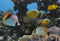 Underwater life of Red sea in Egypt. Saltwater fishes and coral Royalty Free Stock Photo