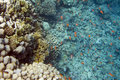 Underwater life of red sea in egypt saltwater fishes and coral reef millepora dichotoma coral Stock Photo