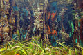 Underwater mangrove roots covered by marine life and reflected on the surface caribbean sea Royalty Free Stock Photos