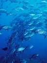 Underwater school of trevally fish Stock Images