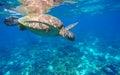 Underwater sea turtle close photo. Green tortoise in blue lagoon. Lovely sea turtle closeup. Royalty Free Stock Photo