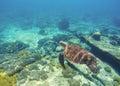 Underwater sea turtle close photo. Green tortoise in blue lagoon. Lovely sea turtle. Royalty Free Stock Photo