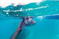 Underwater shoot of a gigantic whale sharks rhincodon typus feeding plankton on the surface the water these have no Stock Photo