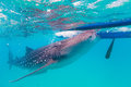 Underwater shoot of a gigantic whale sharks rhincodon typus feeding plankton on the surface the water these have no Royalty Free Stock Photo