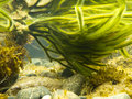 Underwater shot of green seaweed attached to rock Royalty Free Stock Photos