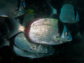 Underwater shot of School of Diplodus vulgaris seabream Royalty Free Stock Photo