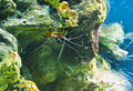 Underwater view with shrimp pair Stock Photo