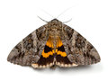 Underwing Moth Royalty Free Stock Images