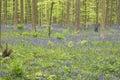 Underwood Ferns And Bluebells