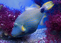 Undulate triggerfish 1 Royalty Free Stock Images