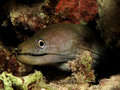 Undulated moray Stock Photography
