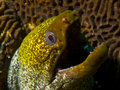 Undulated moray like all eels the s breathing gape is not a threat display if we re being anthropomorphic i prefer to think Royalty Free Stock Photos