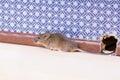 Une souris de maison commune musculus de mus d un trou dans le mur Photos libres de droits