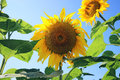 Unflower field sunflower on summer agriculture background Royalty Free Stock Images