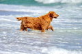 Ung golden retriever Arkivfoto
