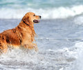 Ung golden retriever Royaltyfria Bilder