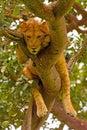 Unga manliga lion resting i ett träd Royaltyfria Bilder