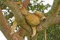 Unga manliga lion resting i ett träd efter ett stort mål Royaltyfri Fotografi
