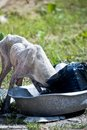 An unhealthy dog going through garbage Royalty Free Stock Photography