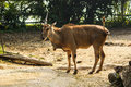 Unicorn common eland with only one horn singapore zoo Stock Photo