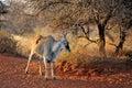 Unicorn eland old at the haak en steek waterhole mokala national park south africa Royalty Free Stock Images