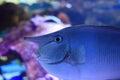 Unicorn fish in reef aquarium