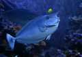 Unicorn fish naso unicornis seen near hawaii Stock Image