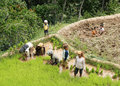 Unidentified people working in rice fields sulawesi indonesia september on september regency known as tana toraja tana toraja Stock Image