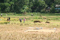 Unidentified people working in rice fields sulawesi indonesia september on september regency known as tana toraja tana toraja Stock Photo