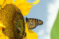 Monarch butterfly on sunflower a.k.a. The unimport Royalty Free Stock Photo