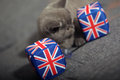 Union jack dice and a british shorthair kitten Stock Image