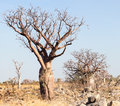 Unique boab tree in the Kimberley Royalty Free Stock Photo