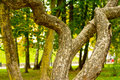 Unique curved magic tree in park Royalty Free Stock Photo