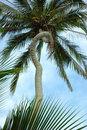 Unique Curved Palm Tree Trunk Royalty Free Stock Photo