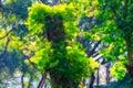 Magic tree in lumpini park bangkok