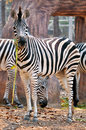 The unique stripes of zebras make them one of the animals most familiar to people Royalty Free Stock Image