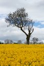 Unique Tree in Yellow Rapeseed Field Royalty Free Stock Photo