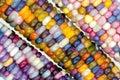 unique variety of rainbow colored corn