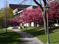 University campus with blooming crab apple trees Stock Images