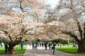 University of Washington Blooming Cherry Trees Royalty Free Stock Photo