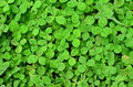 Unlucky Clovers Royalty Free Stock Photo